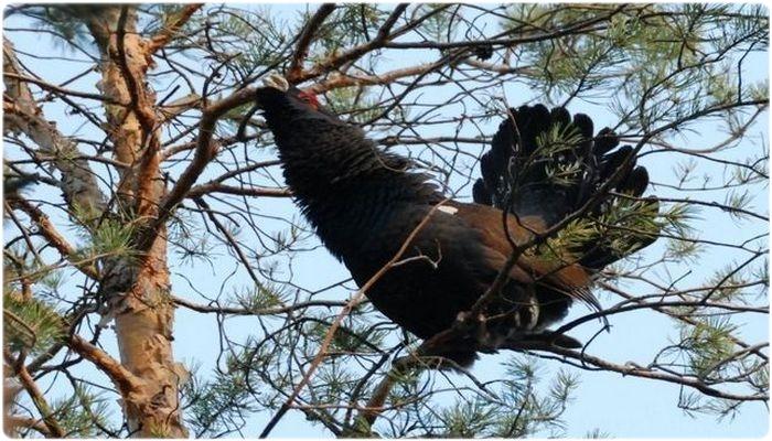 Охота на глухарей на лиственницах и осинах