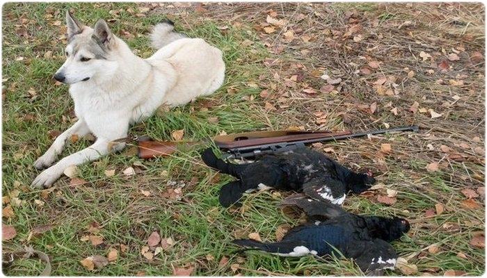 Охота на тетерева с собакой