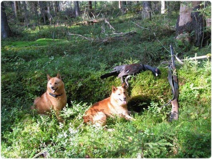 Охота с корело-финской лайкой на глухаря