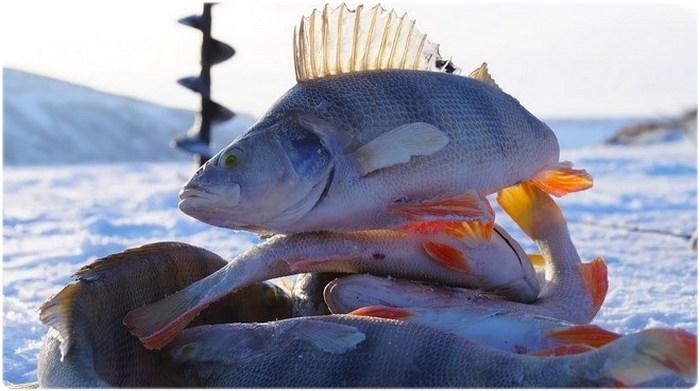 Окунь на зимней рыбалке