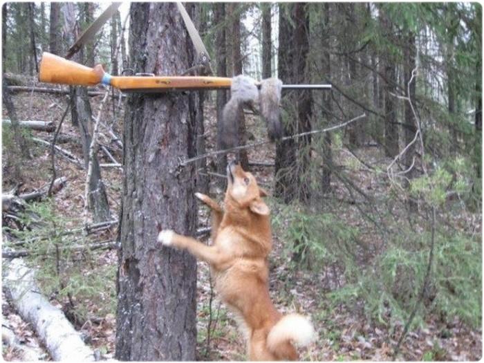 Охота на белку с лайкой