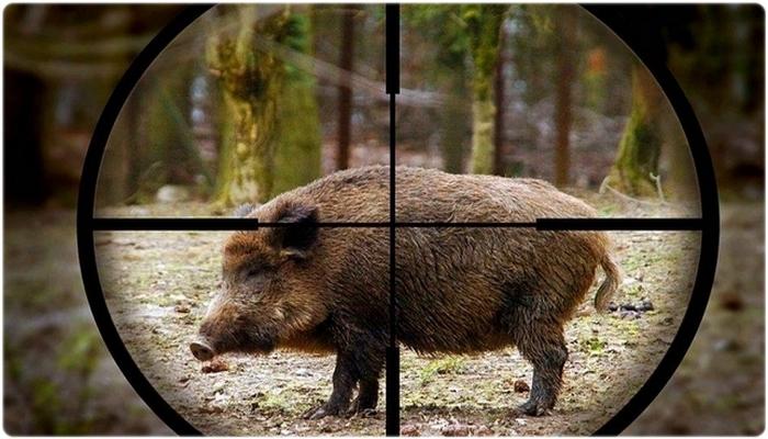 Куда стрелять в кабана