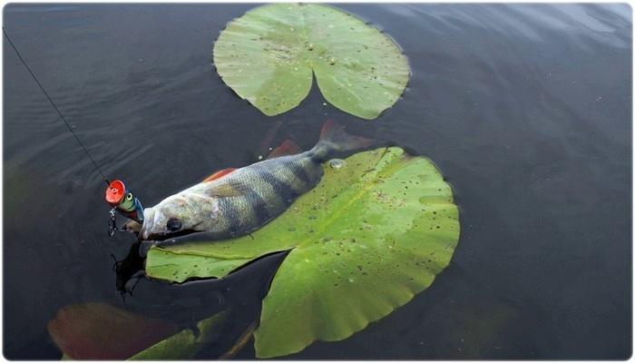 Ловля рыбы на поппер