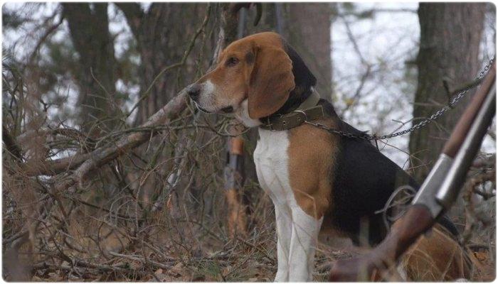 Выбор охотничьей собаки