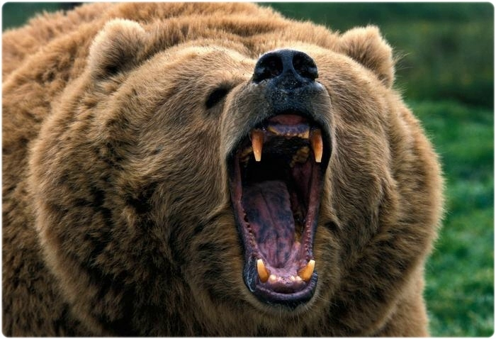 Бурый медведь ревет