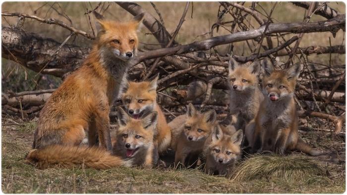 Лисица с лисятами
