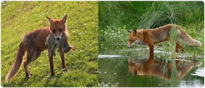 Питание лисицы