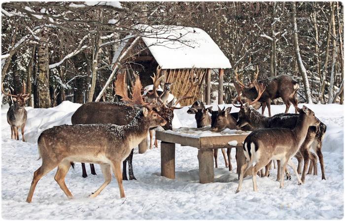 Зимняя подкормка оленей