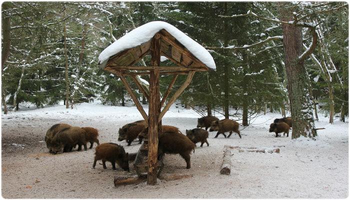 Зимняя подкормка кабанов