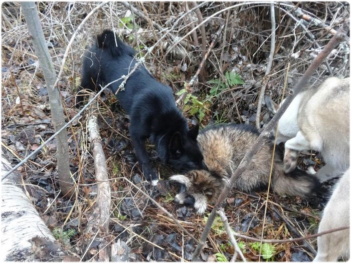 Охота с лайкой на енотовидную собаку